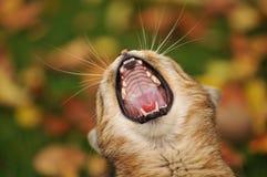 Gatto con una bocca aperta fotografia stock