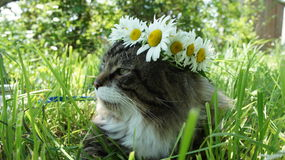 Gatto con una corona della camomilla Fotografia Stock