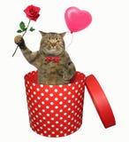 Gatto con una rosa in un contenitore di regalo fotografie stock libere da diritti