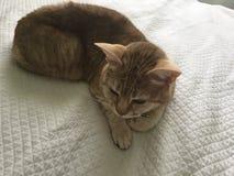 Gatto coperto di pelo rosso sulla coperta bianca fotografie stock libere da diritti