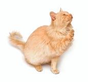 Gatto crema Immagini Stock