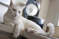 Gatto in cucina dopo il cibo Fotografie Stock Libere da Diritti