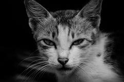 Gatto curioso in bianco e nero Fotografia Stock