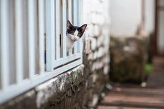 Gatto curioso che dà una occhiata dalla parete di legno bianca Immagine Stock