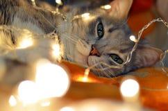 Gatto d'ardore di Natale Fotografia Stock