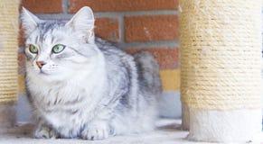 Gatto d'argento della razza siberiana, gatto del bestiame Immagini Stock Libere da Diritti