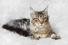 Gatto d'argento nero del cono della Maine del soriano che posa sulla pelliccia bianca del fondo Fotografia Stock