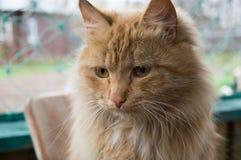 gatto dalla testa rosso Fotografia Stock