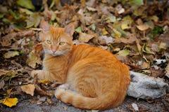 gatto dalla testa rosso Fotografie Stock Libere da Diritti