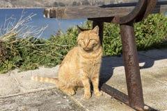 gatto dalla testa rosso fotografia stock libera da diritti