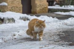 gatto dalla testa rosso sulla neve Fotografia Stock Libera da Diritti