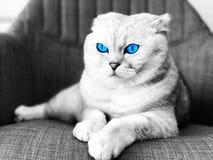 Gatto degli occhi azzurri Fotografia Stock Libera da Diritti