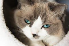 Gatto degli occhi azzurri Immagini Stock Libere da Diritti