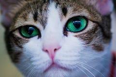 Gatto degli occhi verdi che cerca qualcosa Immagine Stock Libera da Diritti