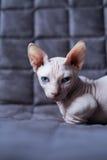 Gatto del bambino Immagini Stock