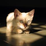 Gatto del Bengala fotografie stock libere da diritti