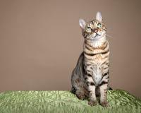 Gatto del Bengala Fotografia Stock
