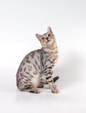 Gatto del Bengala Immagine Stock