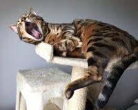 Gatto del Bengala che sbadiglia immagini stock