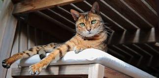 Gatto del Bengala che si trova sul sedile attenuato rilassato fotografia stock