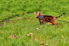 Gatto del Bengala su un cablaggio e su un guinzaglio su una passeggiata fuori nel gra Immagine Stock