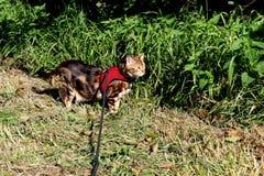Gatto del Bengala su un cablaggio e su un guinzaglio su una vista laterale dell'esterno della passeggiata Fotografia Stock