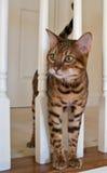 Gatto del Bengala sulle scale Immagine Stock