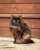 Gatto del Brown Immagini Stock