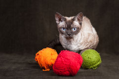 Gatto del Devon Rex Fotografia Stock