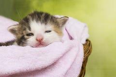 Gatto del gattino che si siede in un canestro Immagine Stock