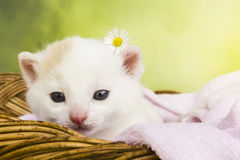 Gatto del gattino che si siede in un canestro Fotografie Stock