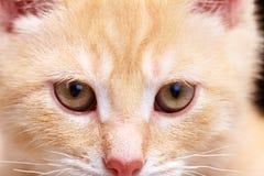 Gatto del gattino dello zenzero immagini stock