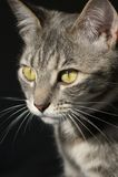 Gatto del gattino di caccia Fotografie Stock