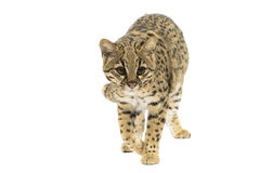 Gatto del Geoffroy Immagini Stock