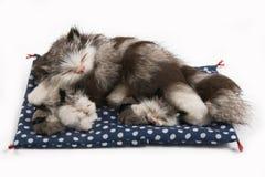 Gatto del giocattolo con due gattini Immagini Stock Libere da Diritti