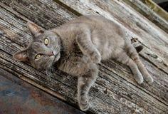Gatto del granaio fotografia stock