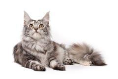 gatto del Maine-coon fotografie stock