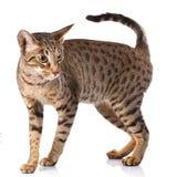 Gatto del maschio di Ocicat Fotografia Stock