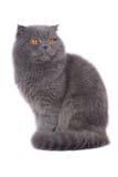 Gatto del popolare dello Scottish Immagini Stock