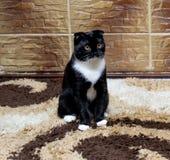 Gatto del popolare dello Scottish alla parete delle mattonelle Fotografia Stock