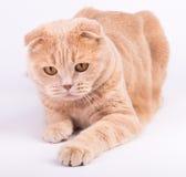 Gatto del popolare dello Scottish che si trova sul fondo bianco Fotografia Stock