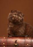 Gatto del popolare dello Scottish della razza. Fotografia Stock Libera da Diritti