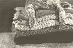 Gatto del popolare di Scotish che si trova vicino ad una pila di asciugamani variopinti Immagini Stock