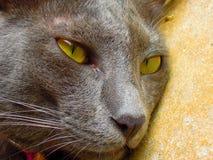 gatto del primo piano Immagini Stock Libere da Diritti