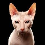 Gatto del primo piano della razza Sphynx che guarda in camera sopra Fotografia Stock