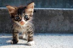 Gatto del Pussy immagine stock
