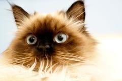 Gatto del Pussy Fotografia Stock