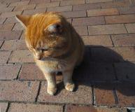 Gatto del rehead dello zenzero sul mattone che pavimenta pavimento fotografia stock