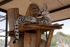 Gatto del Serval Fotografie Stock Libere da Diritti