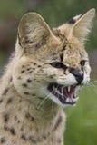 Gatto del Serval che ringhia Fotografia Stock